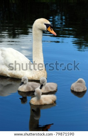 swan with baby chicks - stock photo