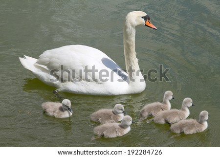 Swan with cygnets swimming in the pond - stock photo