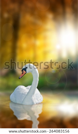 Swan with reflection on water surface - amazing sunny autumn forest in background - stock photo
