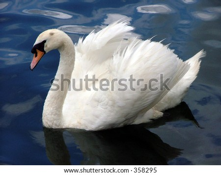 swan with wings open