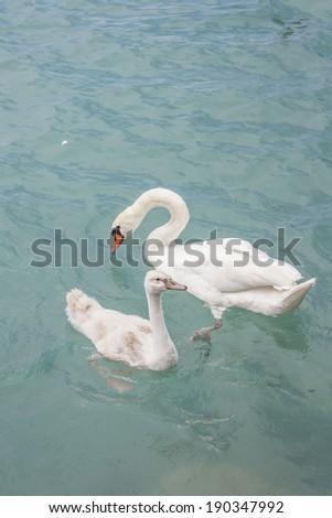 Swans - stock photo