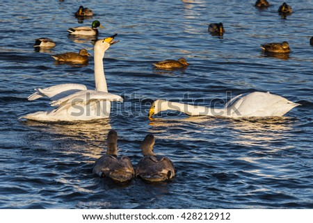 Swans and ducks on the beautiful lake.