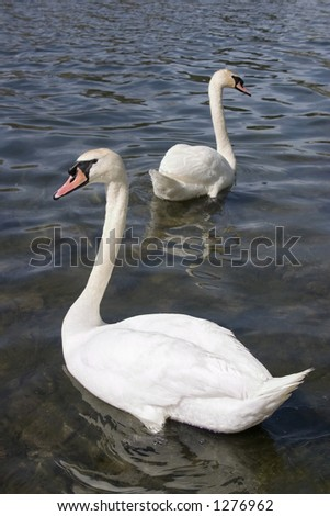 Swans at High Park - stock photo