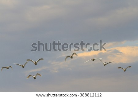 Swans flying against the backdrop of magnificent sky, summer, bird migration - stock photo