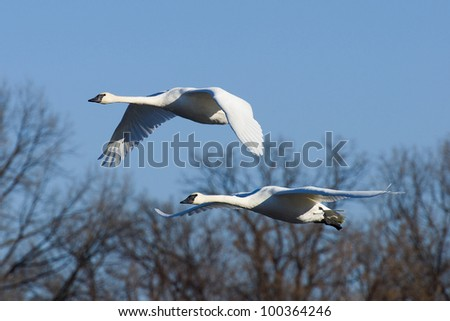 Swans Flying in Front of Trees - stock photo