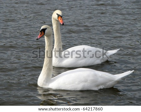 Swans looking in different directions - stock photo