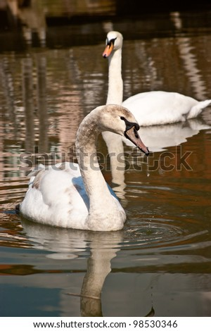 Swans on a pond - stock photo