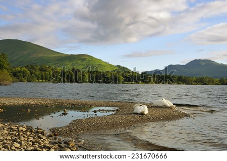 Swans on Loch Lomond Ben Lomond distant right Scotland - stock photo