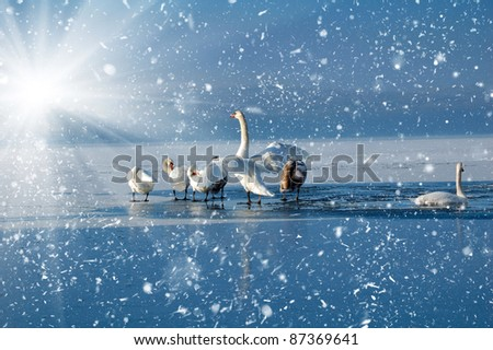 Swans on the frozen lake - stock photo