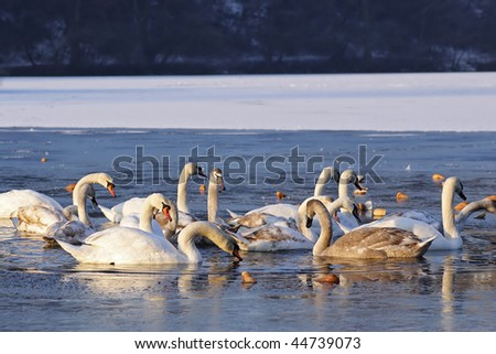 swans on the ice-covered pond - stock photo