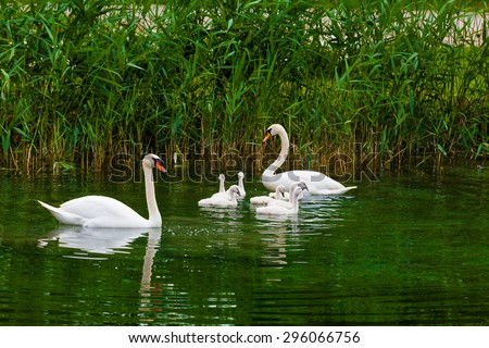 Swans on the lake. Swans with nestlings.  Swan with chicks. Mute swan family.
