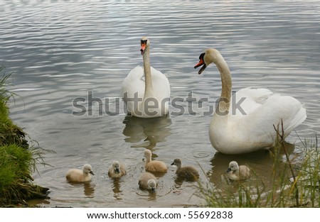 Swans on the lake with Young - stock photo