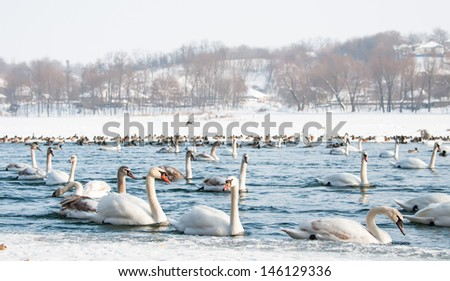 Swans on the river in winter - stock photo
