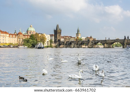 Swans on Vltava River in Prague. Czech Republic