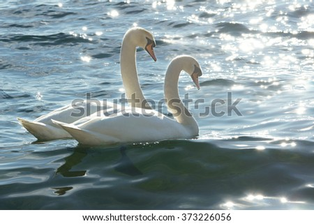 swans on water, valentine concept - stock photo