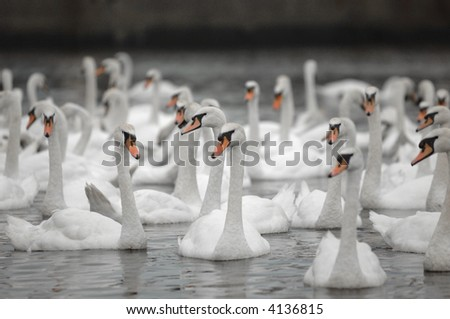 Swans photographed in a large group - stock photo