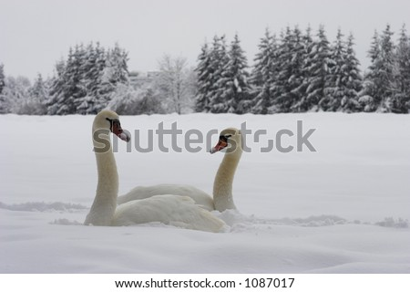swans sitting in deep snow - stock photo