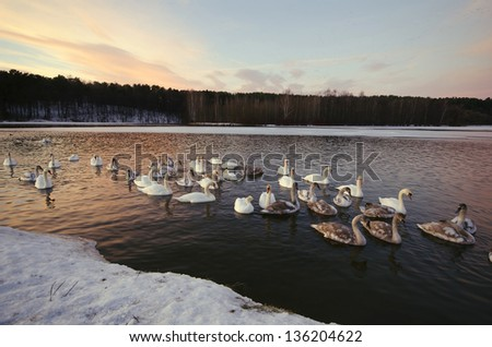 swans swim and live in the winter frost is not frozen lake