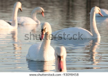 Swans swimming on a lake - stock photo
