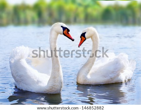 swans swimming on the water in nature - stock photo