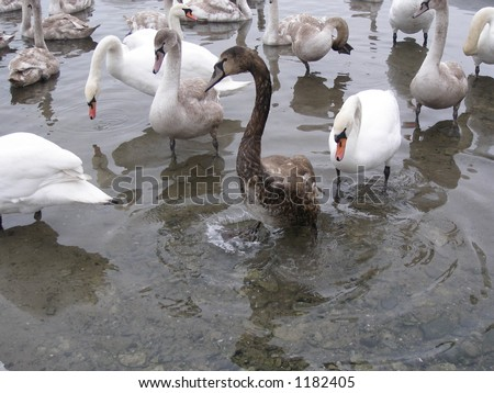Swans together,with oily swan - stock photo