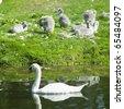 swans, Tully, County Kildare, Ireland - stock photo