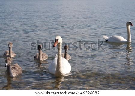 Swans with baby swans swimming in Lake Geneva, Switzerland - stock photo