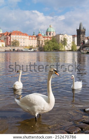 Swans with Prague old town in the background - stock photo