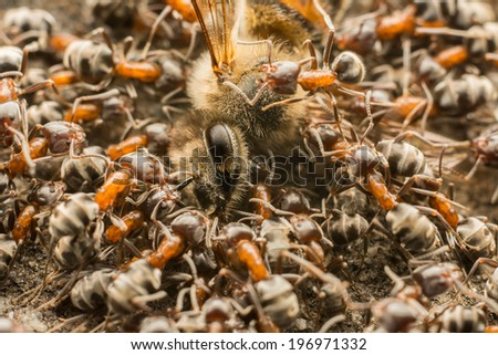 Swarm Of Ants Eating Dead Bee - stock photo