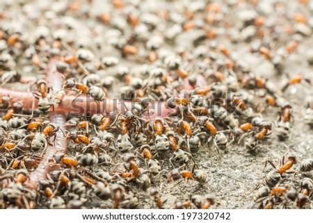 Swarm Of Ants Eating Earthworm - stock photo