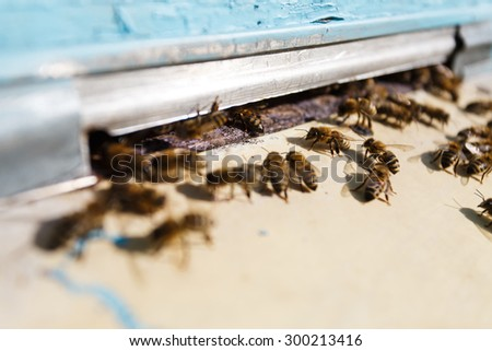 Swarm of bees at the tap-hole, with metallic lath, of blue wooden hive in a sunny day, close up - stock photo