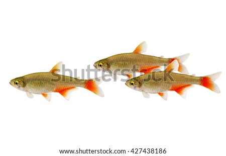 Swarm of Bloodfin tetra Aphyocharax anisitsi tropical aquarium fish isolated on white