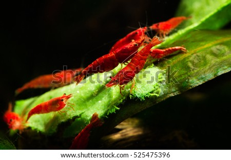 Swarm of painted fire red neocaridina Davidi shrimps eating green leaf