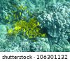 swarm of yellow tang (Zebrasoma flavescens) - stock photo