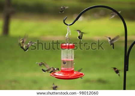 Swarming Ruby Throated Hummingbirds/Archilochus colubris - stock photo