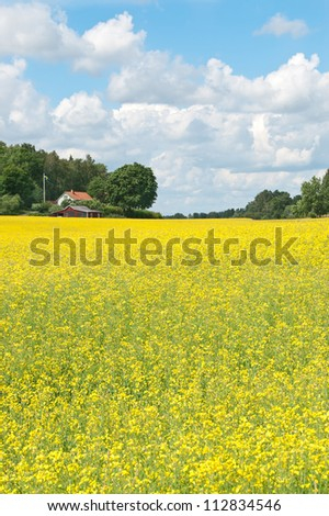 Swedish summer. Rural landscape with blooming yellow meadow.