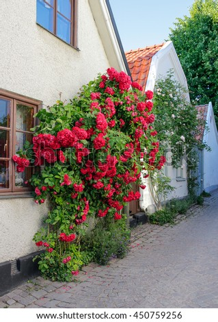 Swedish town Visby, famous for its roses. Gotland, Sweden.