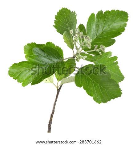 Swedish whitebeam, Sorbus intermedia twig isolated on white background - stock photo
