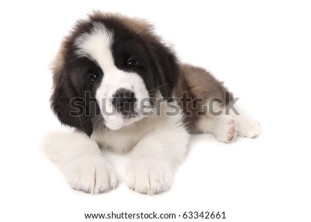 Sweet Adorable Saint Bernard Puppy Lying Down on White Background - stock photo