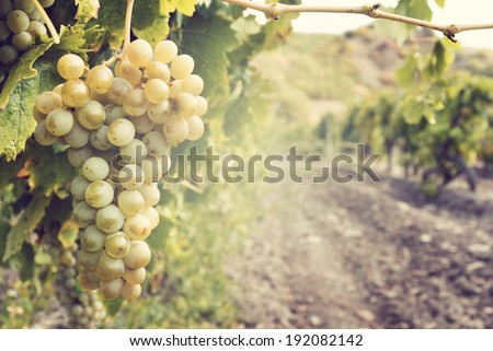 Sweet and tasty white grape bunch on the vine - stock photo