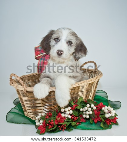 Sweet Aussie Doodle puppy sitting in a basket with Christmas flowers around her. - stock photo
