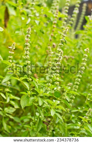Sweet Basil is green leaves in the nature