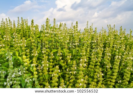 sweet basil with flowers, herb for cold and lose weight - stock photo