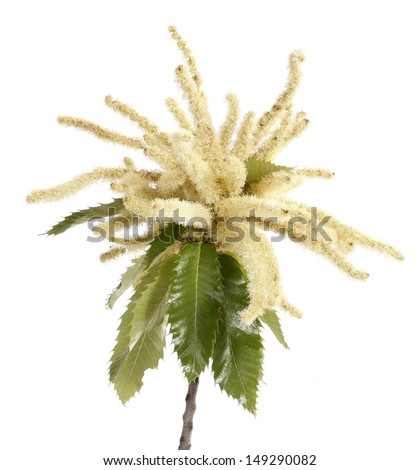 Sweet chestnut blossoming branch - stock photo