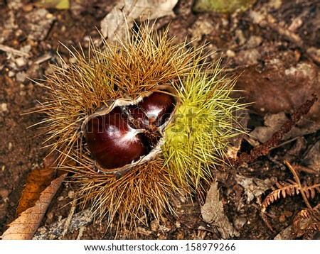 Sweet chestnut raw, natural