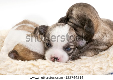 sweet chihuahua puppies litter huddled together in fur pet bed  on white background - stock photo