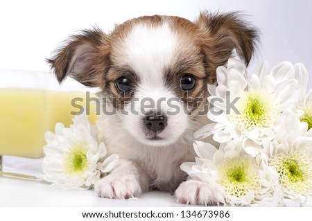 sweet Chihuahua puppy and flowers close-up on white background - stock photo