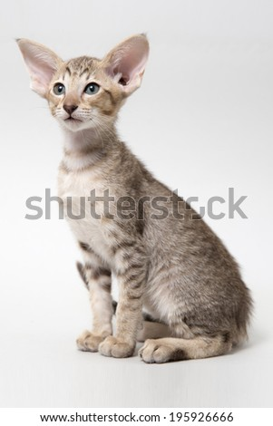 Sweet chocolate red tabby oriental kitten on a light gray paper background