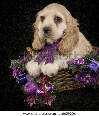 Sweet Cocker Spaniel Puppy with pink and purple Christmas decor on a black background. - stock photo