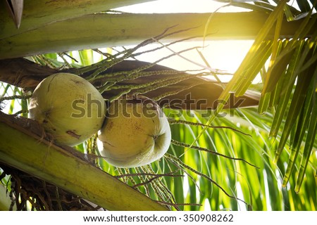 Sweet Coconut tree - stock photo